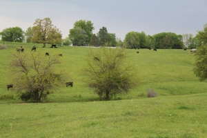 Nothing better then green grass and black cows--or so the husband says